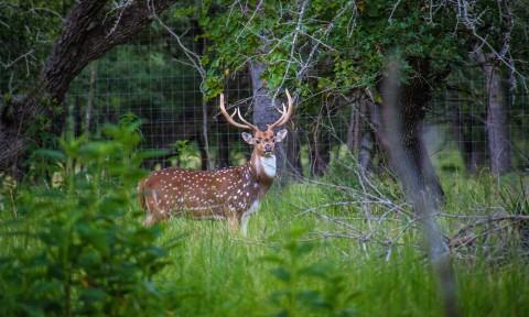 Axis Deer 1