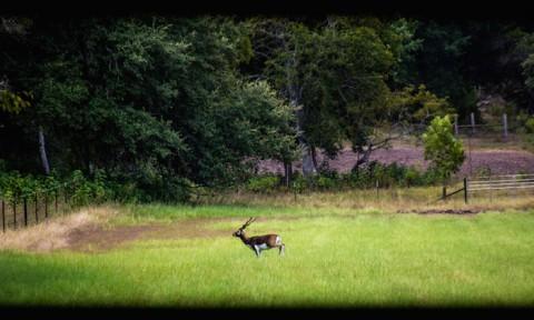 Blackbuck 1