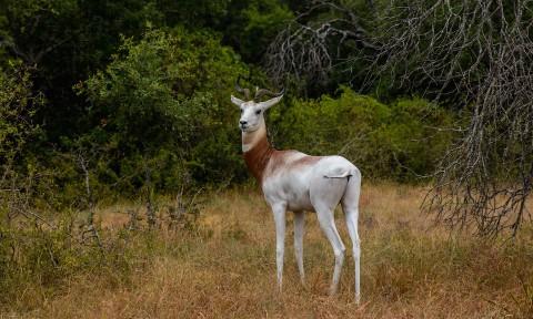 Dama Gazelle 1