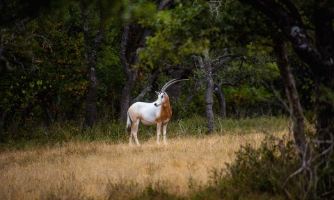 Scimitar Oryx 1
