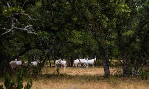 Scimitar Oryx 2