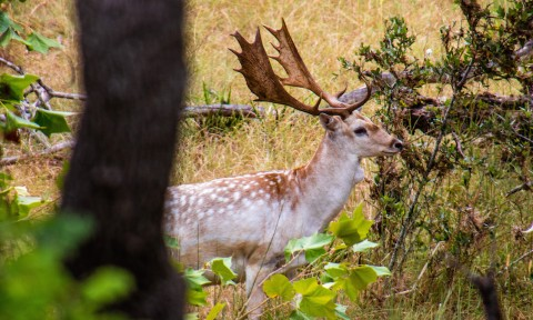 Spotted Fallow
