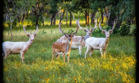Spotted and White Fallow Deer
